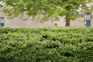 hedge-229446_960_720
