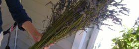 Jak pěstovat levanduli?