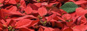 Víte, které pokojové rostliny jsou jedovaté?